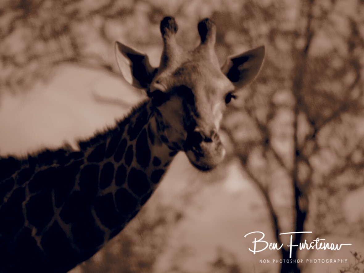 Giraffe in sepia, Kruger National Park