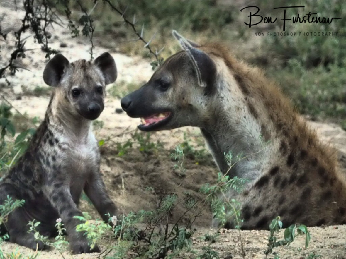 Mom and puppy hyena, Kruger National Park