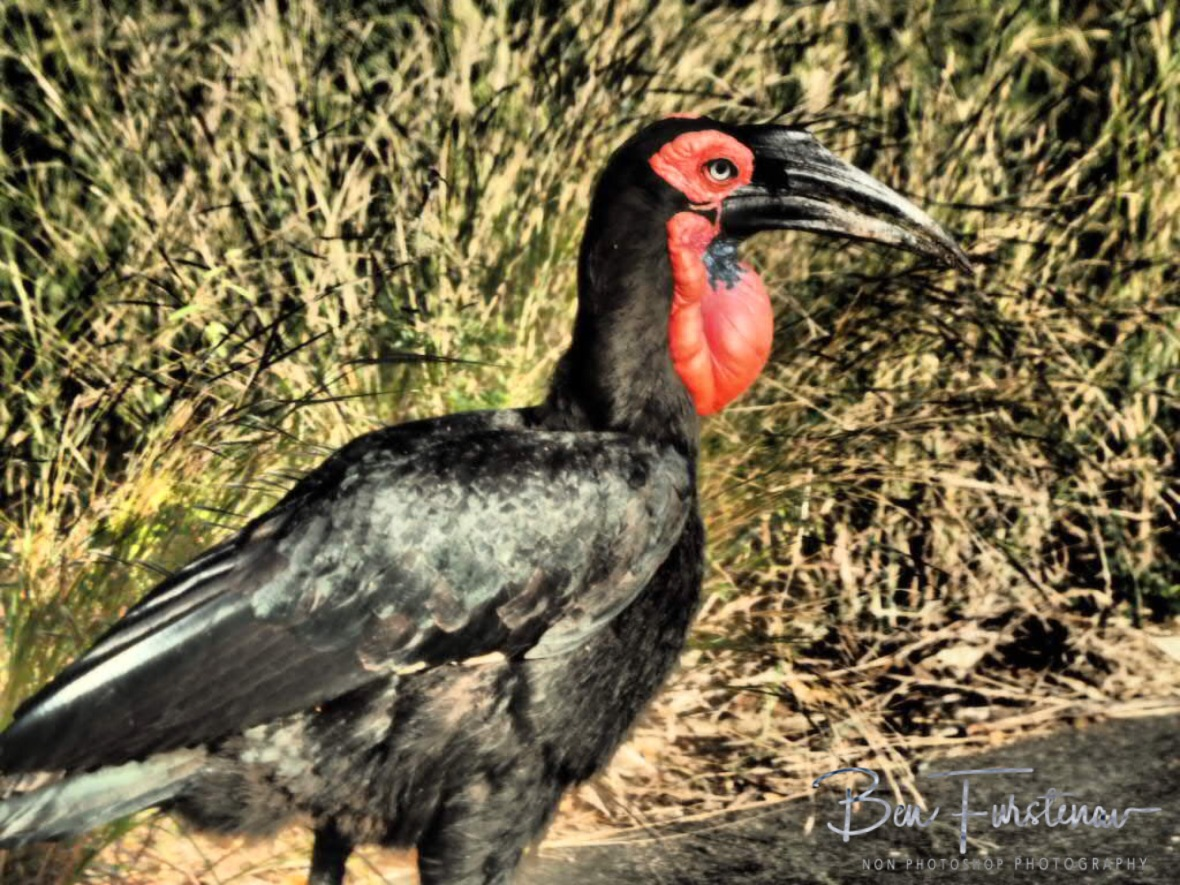 A rare Ground Hornbill, Kruger National Park