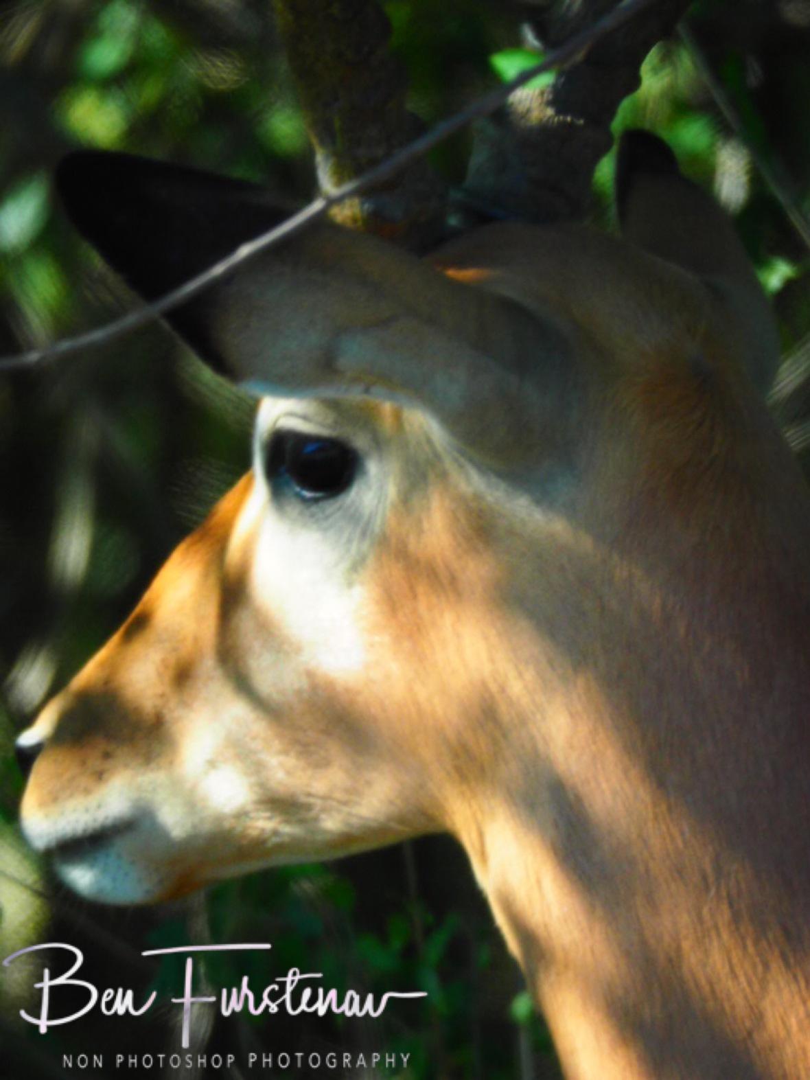 Impala closeup, Kruger National Park