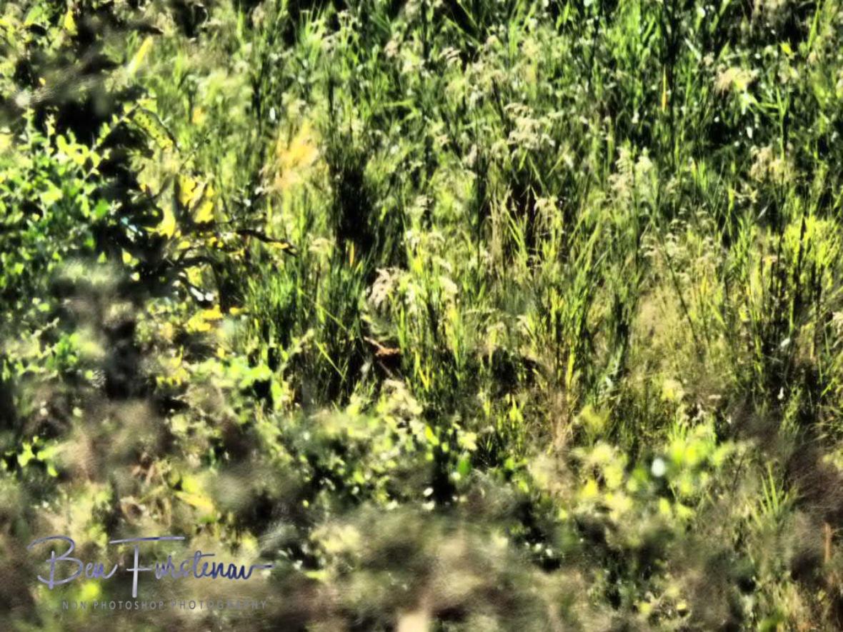 Spot the leopard part two, Kruger National Park