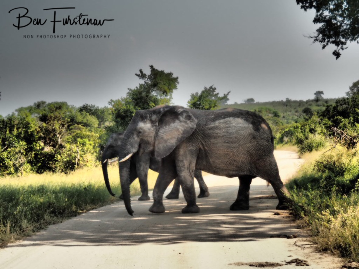 Elephant crossing, Kruger National Park