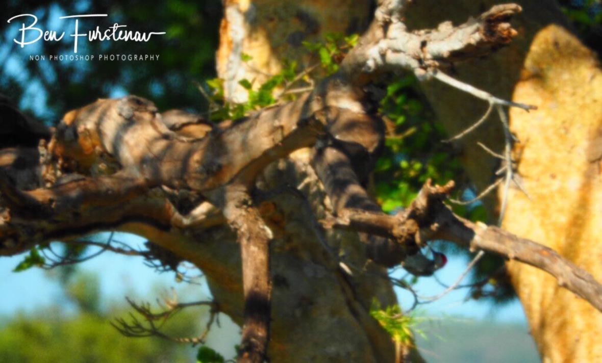 Cardinals woodpecker woodpecking, Kruger National Park