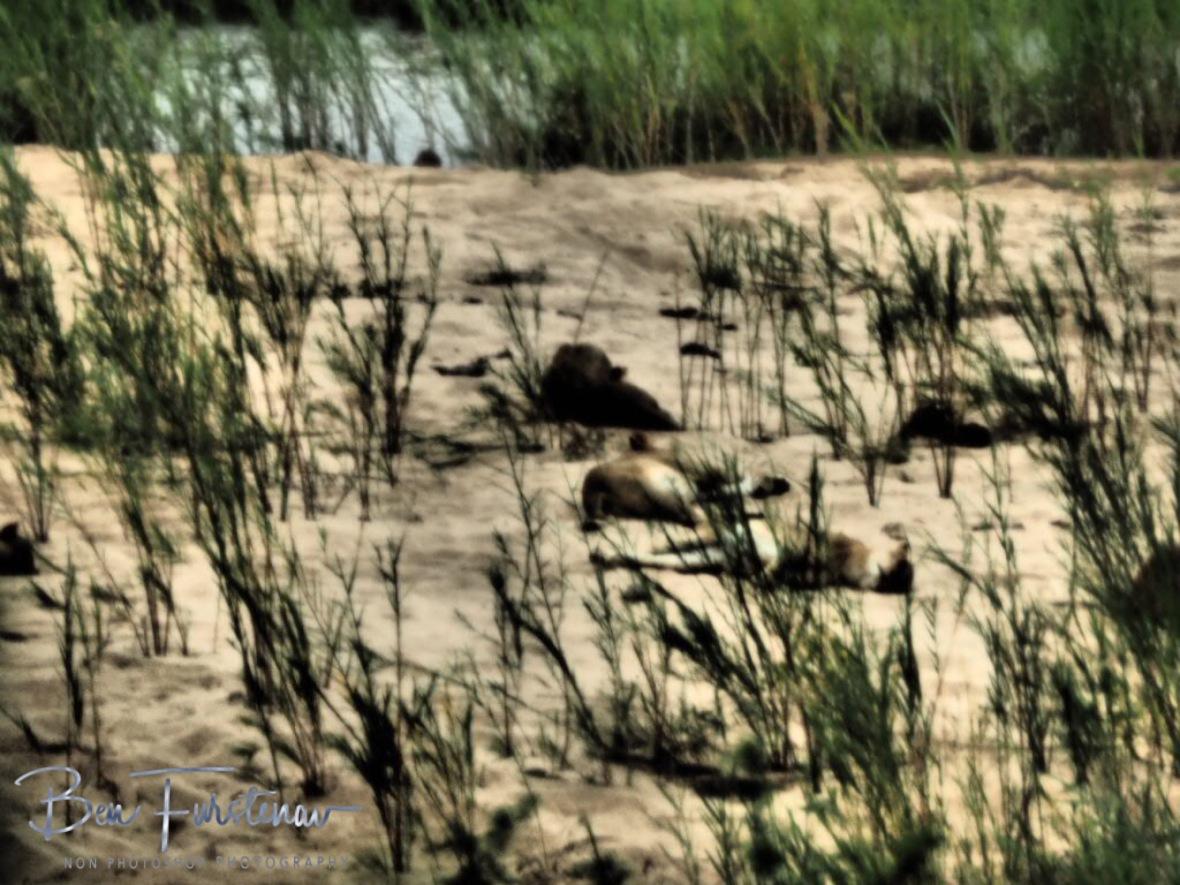 Lion around at their best, Kruger National Park
