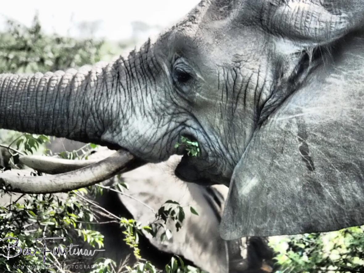 Elephants eat all day long, Kruger National Park