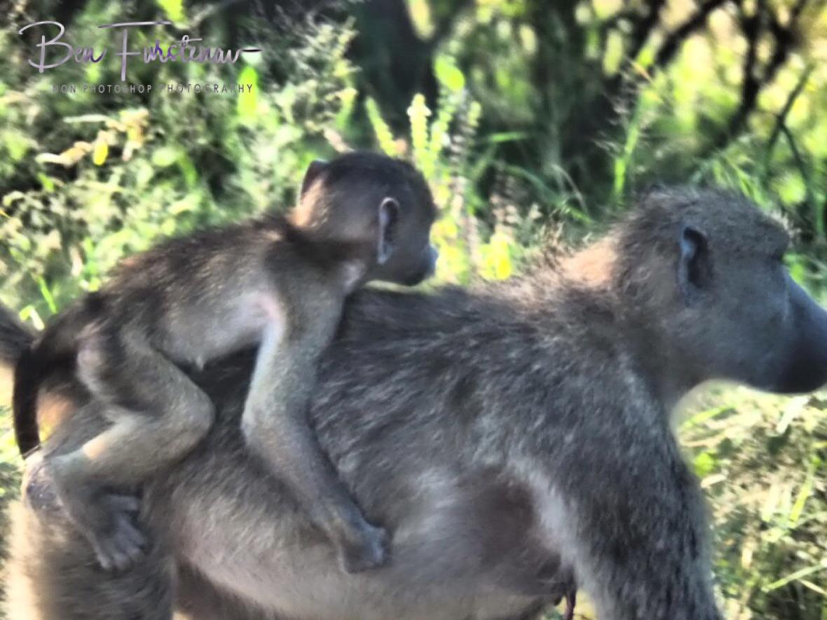Monkey ride, Kruger National Park
