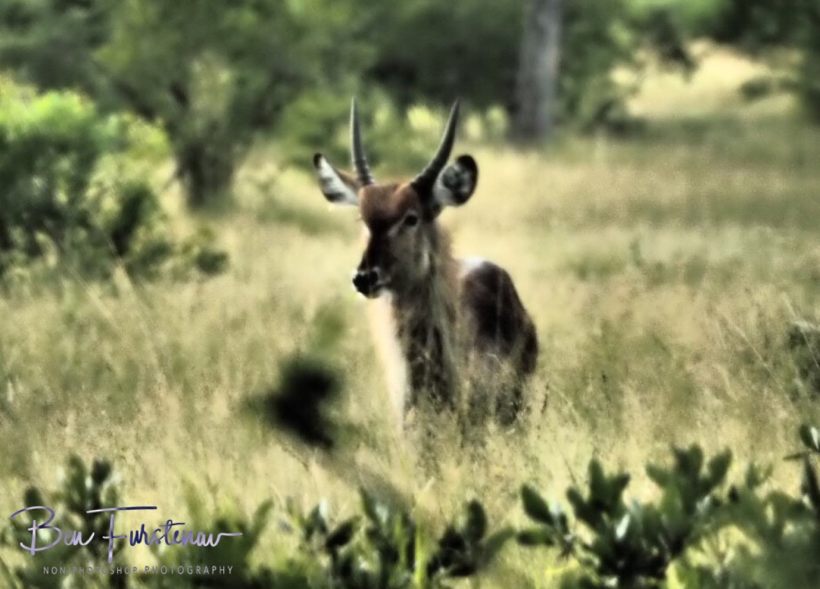 A lone waterbuck, Kruger National Park