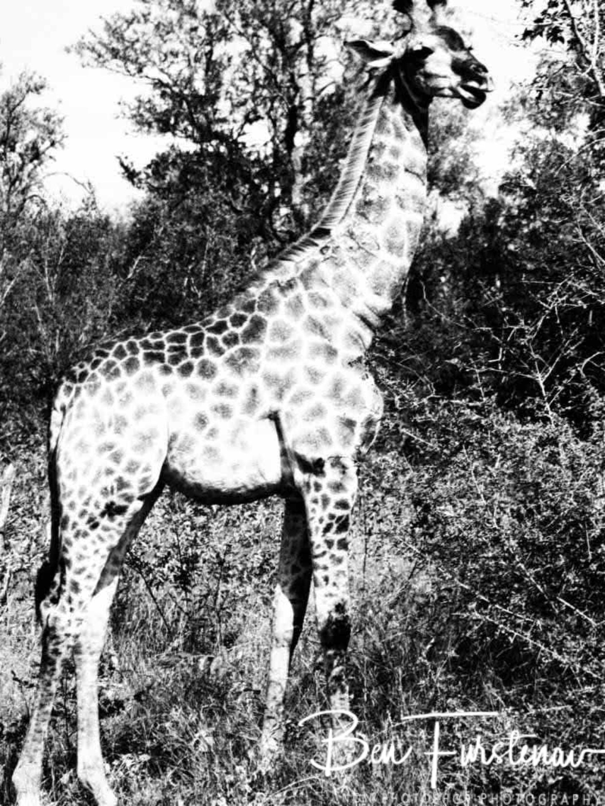 Giraffe black and white, Kruger National Park
