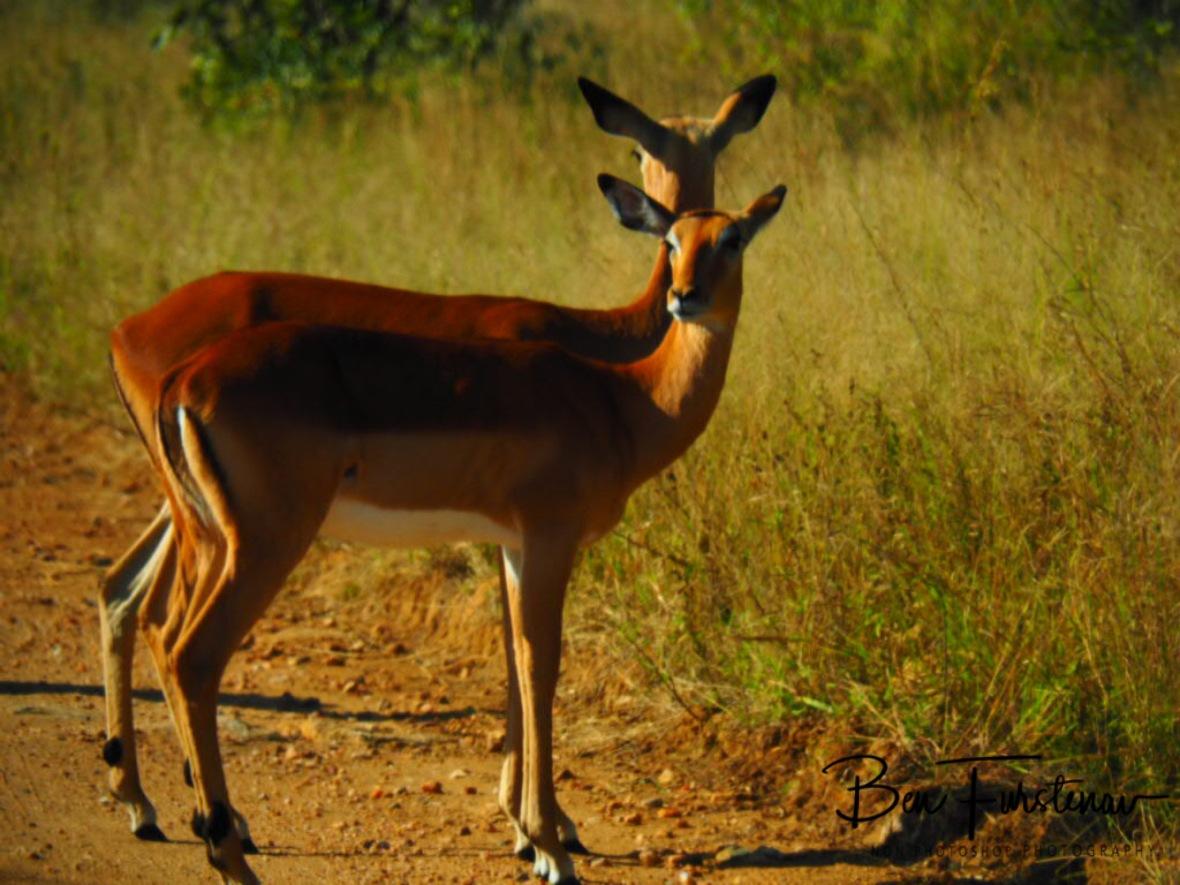 Impala synchronised catwalking, Kruger National Park
