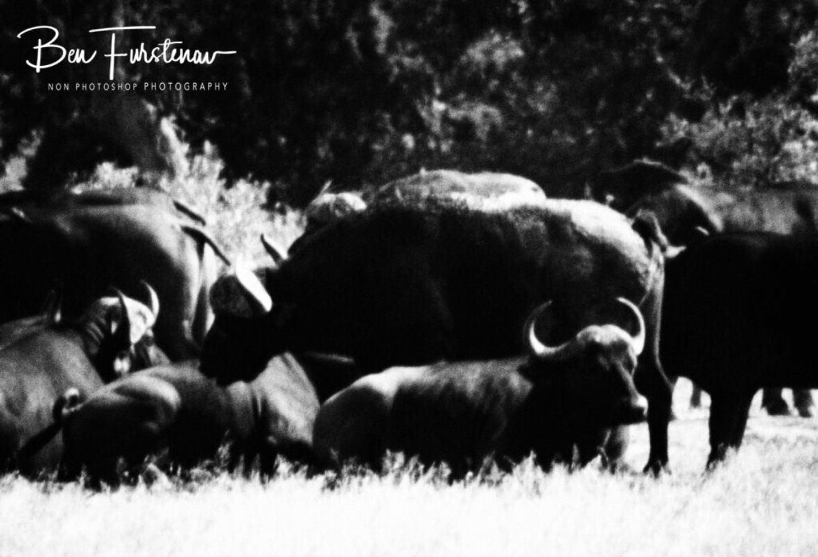 Resting in the heat, Kruger National Park