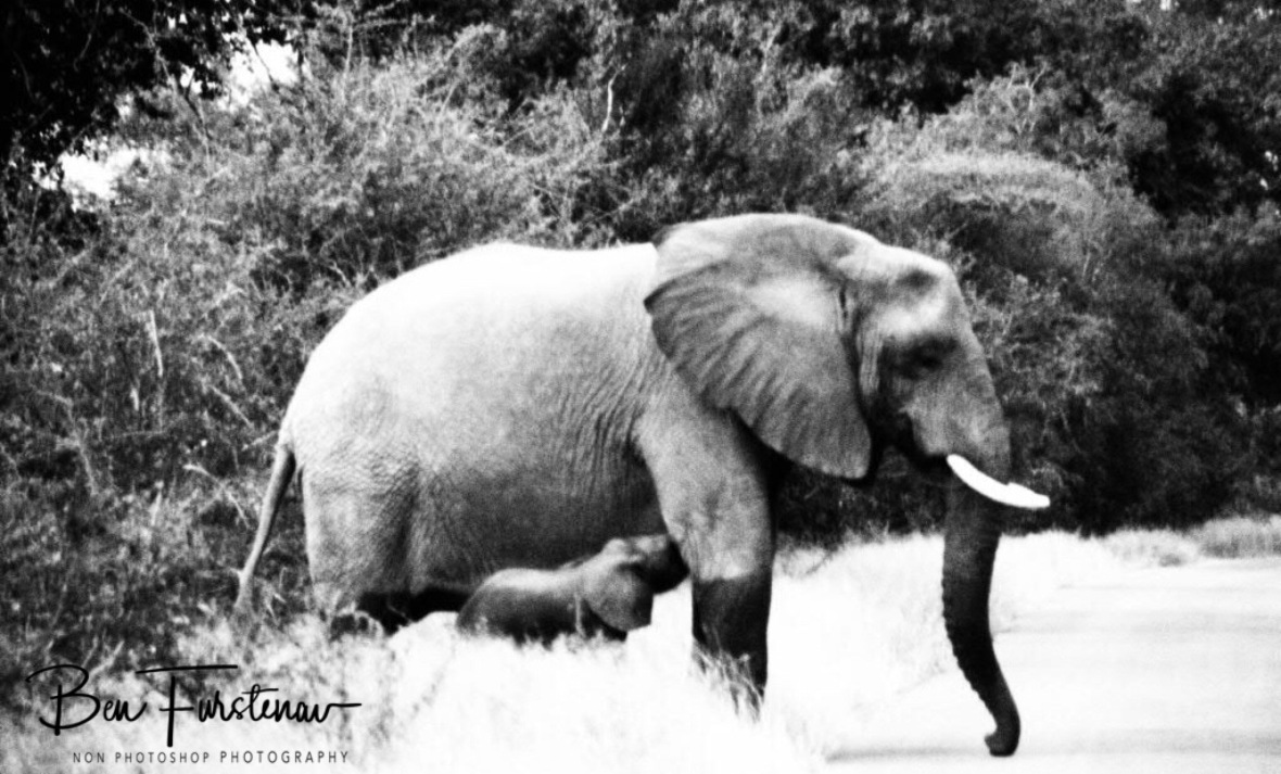 Mother leading by example at road crossing, Kruger National Park