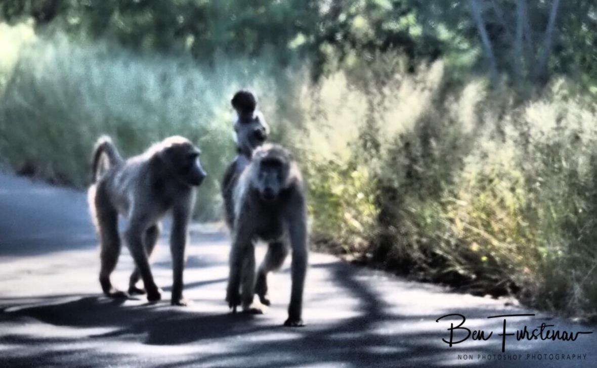 Baboon brigade, Kruger National Park