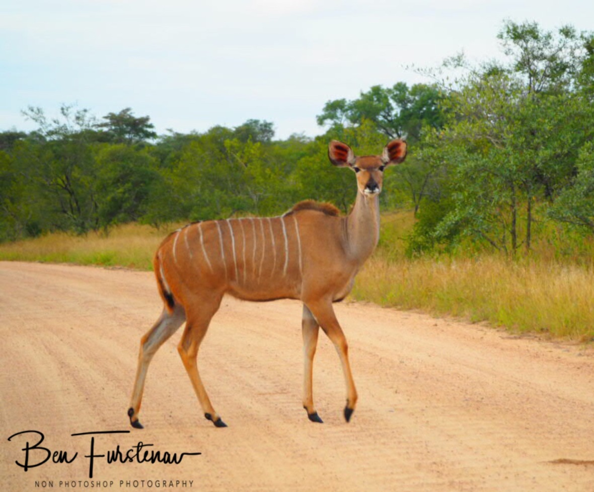 Kudu female, Kruger National Park