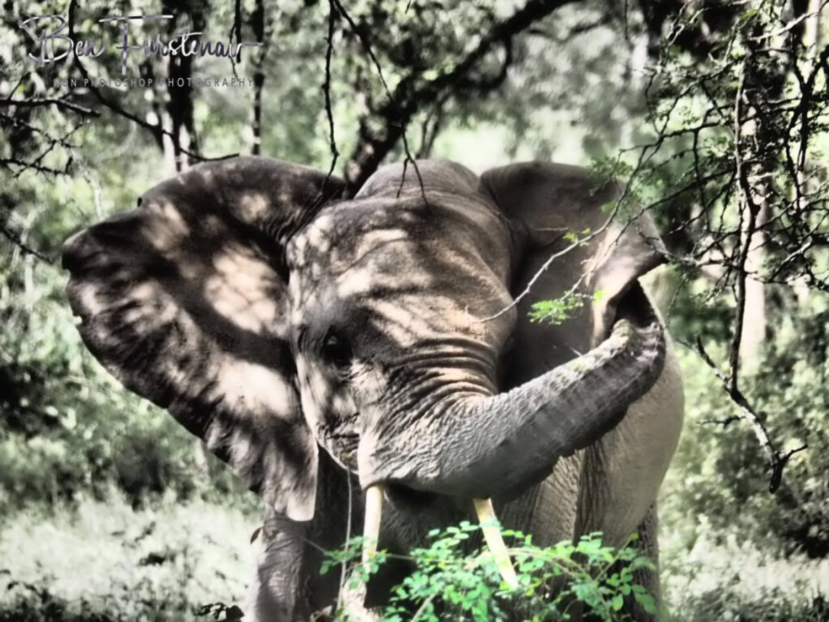 Dumbo and the leaves, Kruger National Park