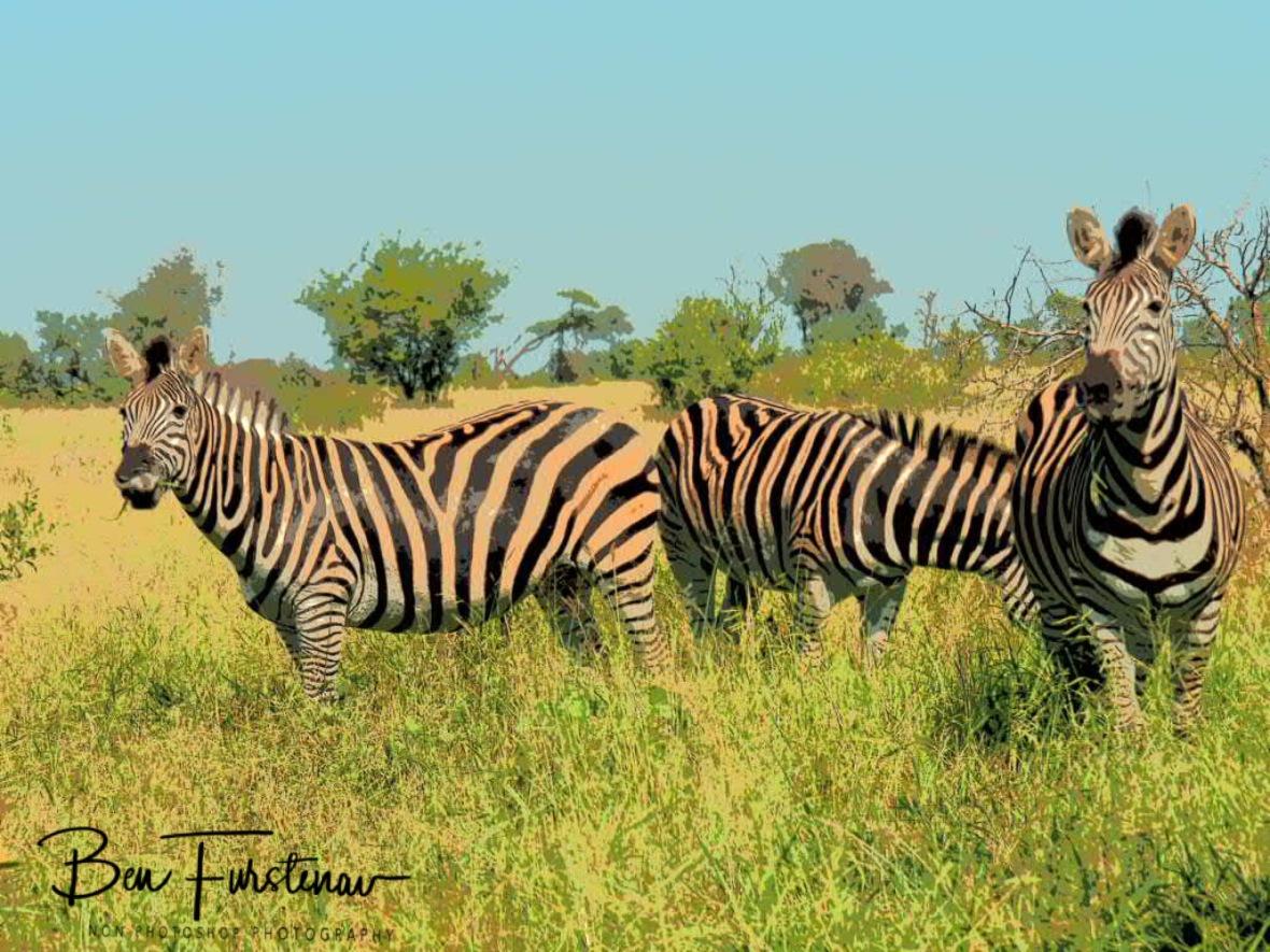 Zebras on the lookout for a motorised cousin, Kruger National Park