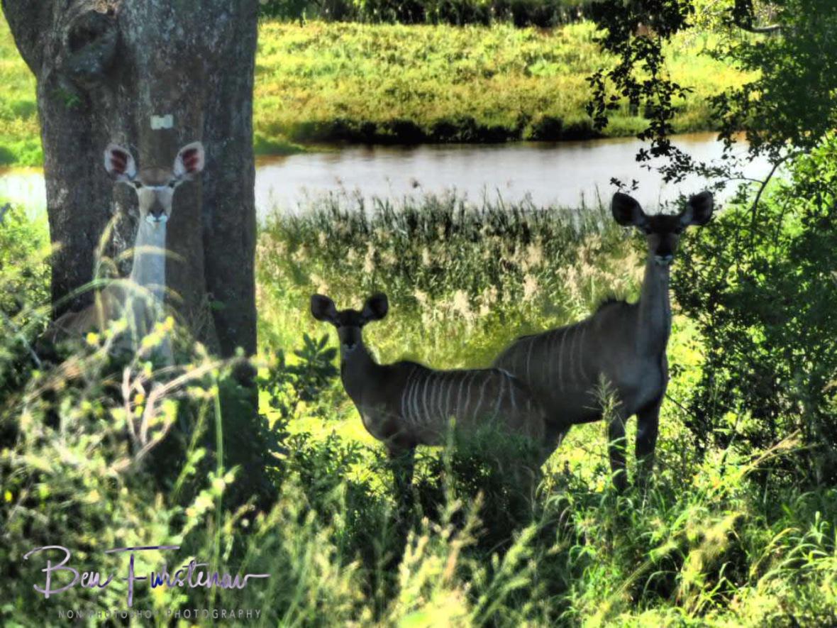 Kudu family, Kruger National Park