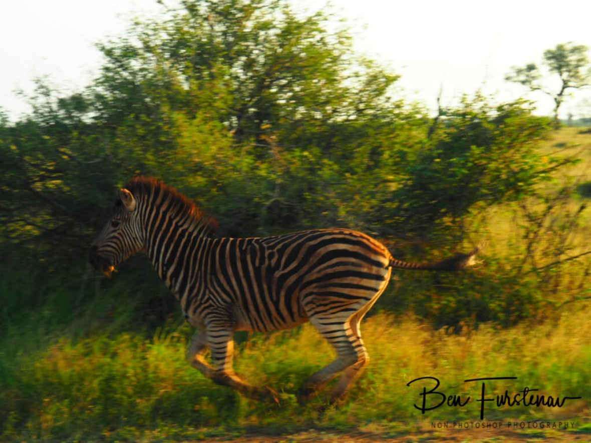 Zebra races, Kruger National Park
