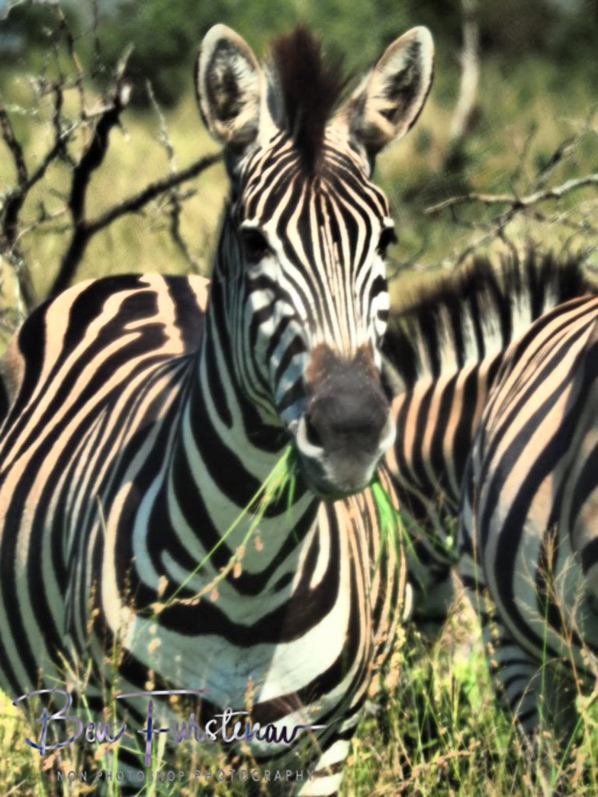 Grazing zebra n disbelief, Kruger National Park