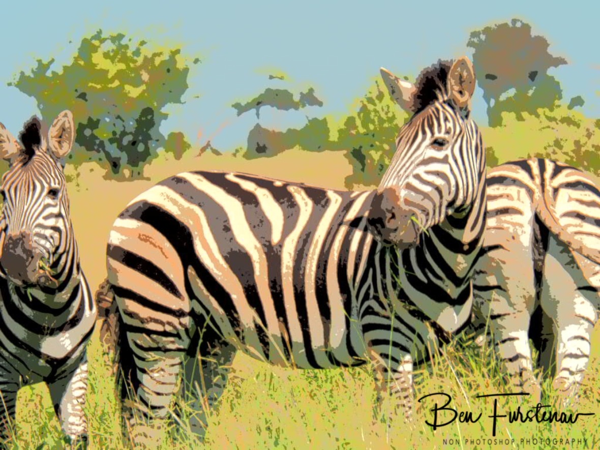 Zebras impressed by Zimba, Kruger National Park