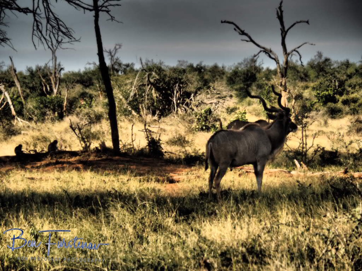 Kudu is having no monkey business, Kruger National Park