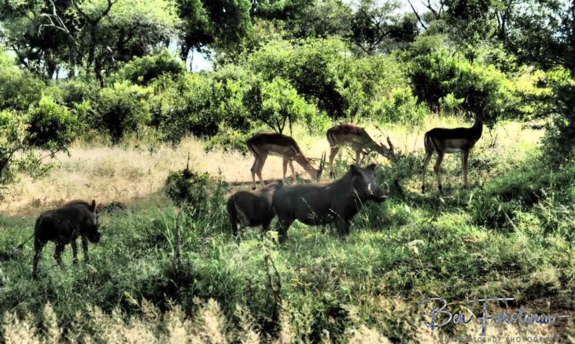 Pumba and friends are never far off, Kruger National Park
