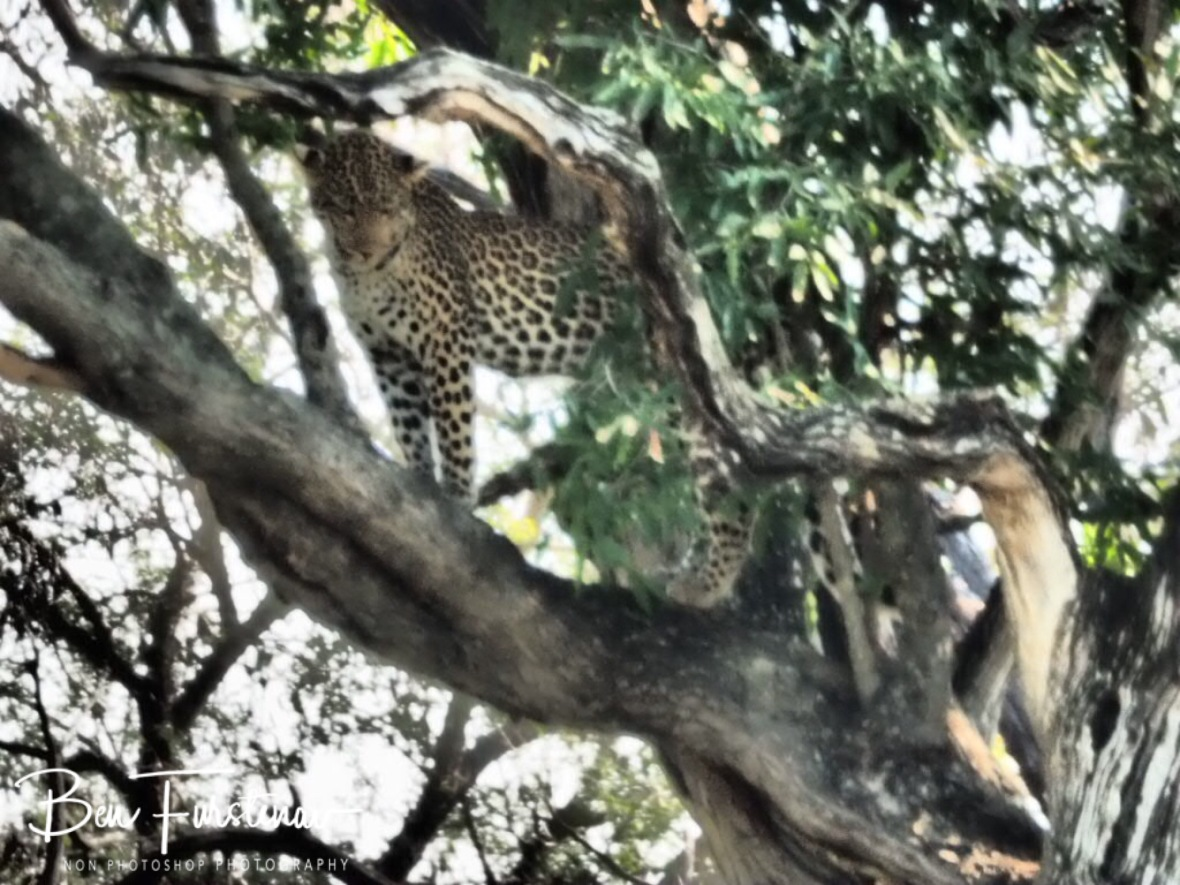 Queen of the trees, Kruger National Park