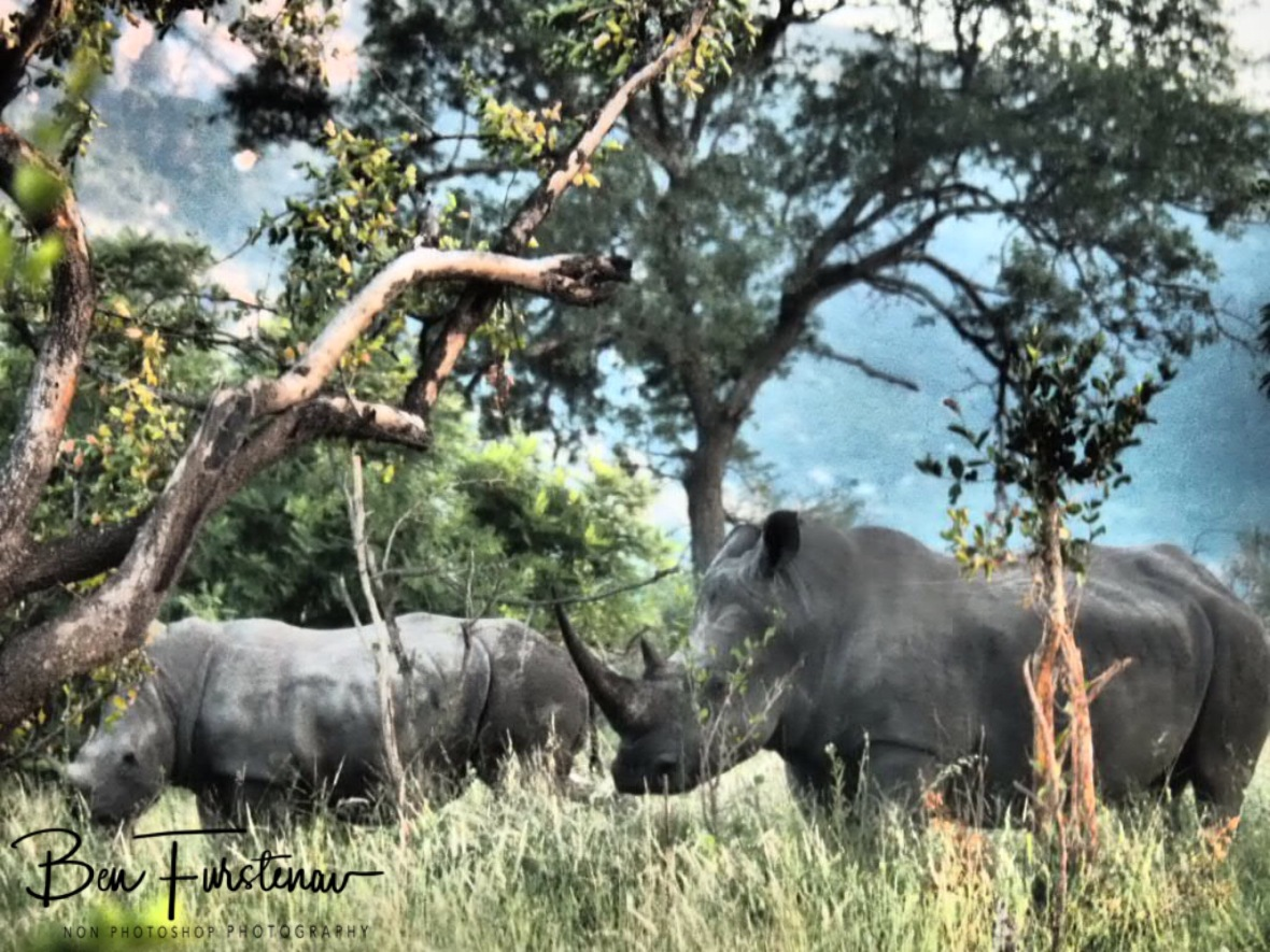 The ever vary white rhino mom and calf, Kruger National Park