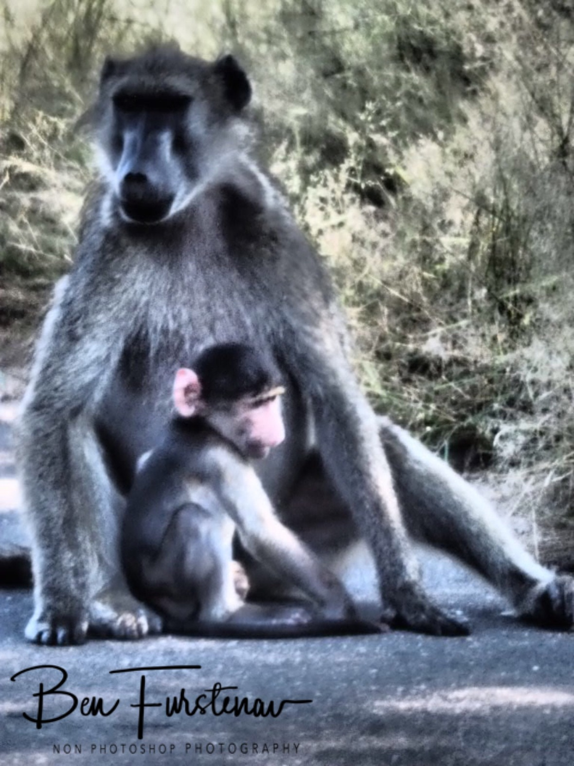 Baboon play, Kruger National Park