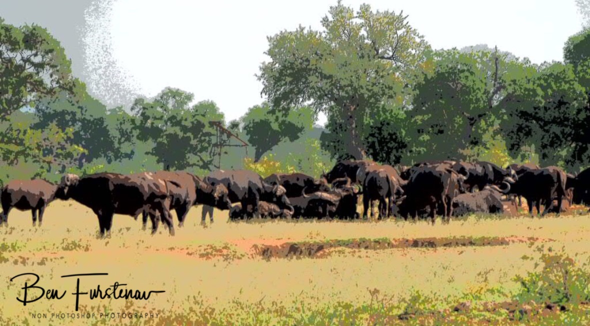 A large herd off African buffalo, Kruger National Park