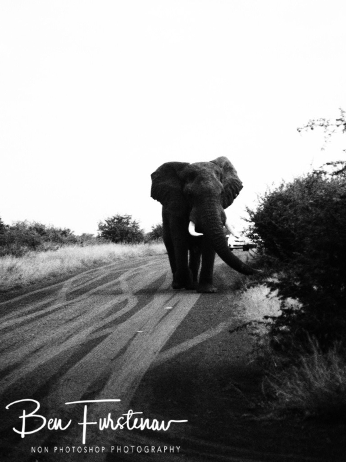 Bull elephant following car in Kruger National Park
