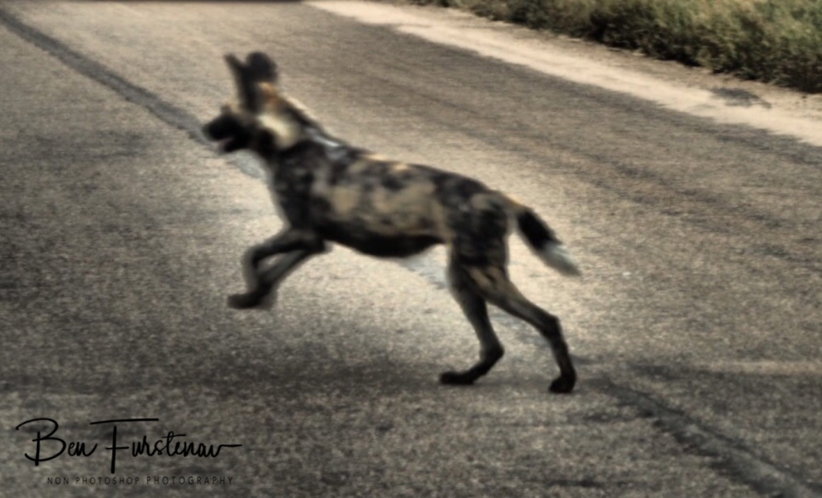 A wild dog crossing,, Kruger National Park