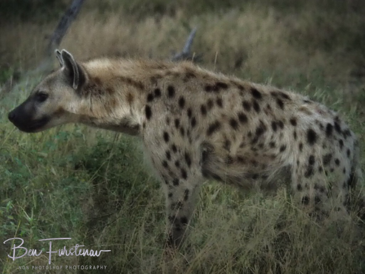 Top ranked hyena, Kruger National Park