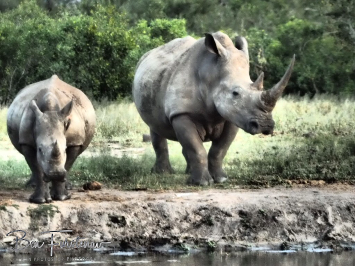 White rhino mother and calf, Kruger National Park