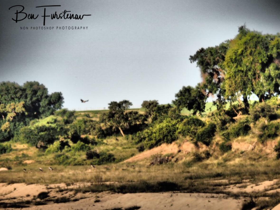Vultures circling over dead elephant, Kruger National Park