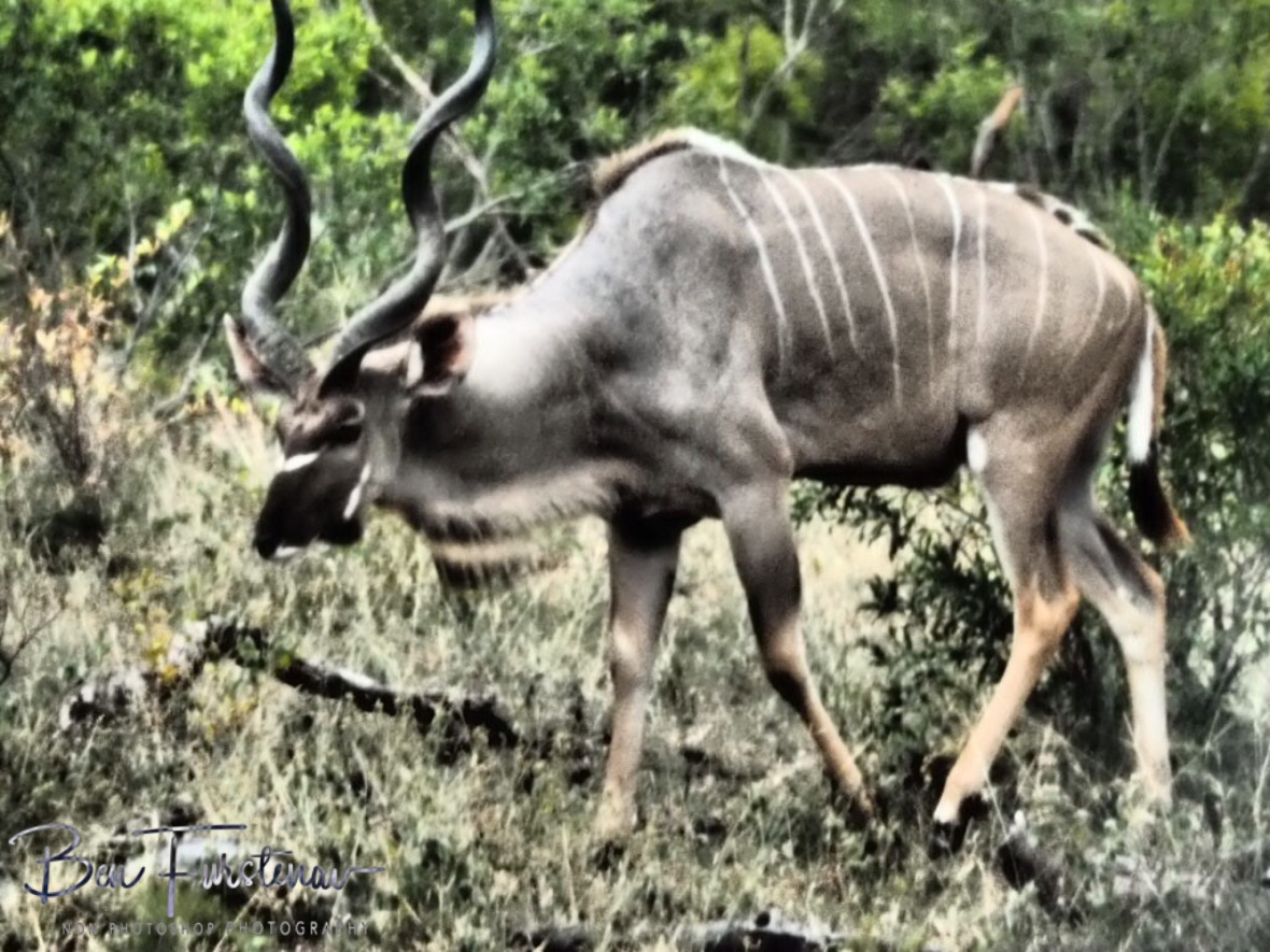 A big Kudu bull, Kruger National Park