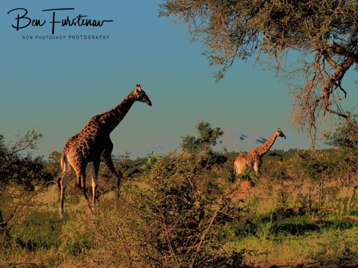 Giraffes early morning stroll, Kruger National Park