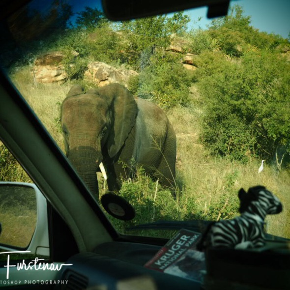 Too close for comfort for Zimba and myself, Kruger National Park