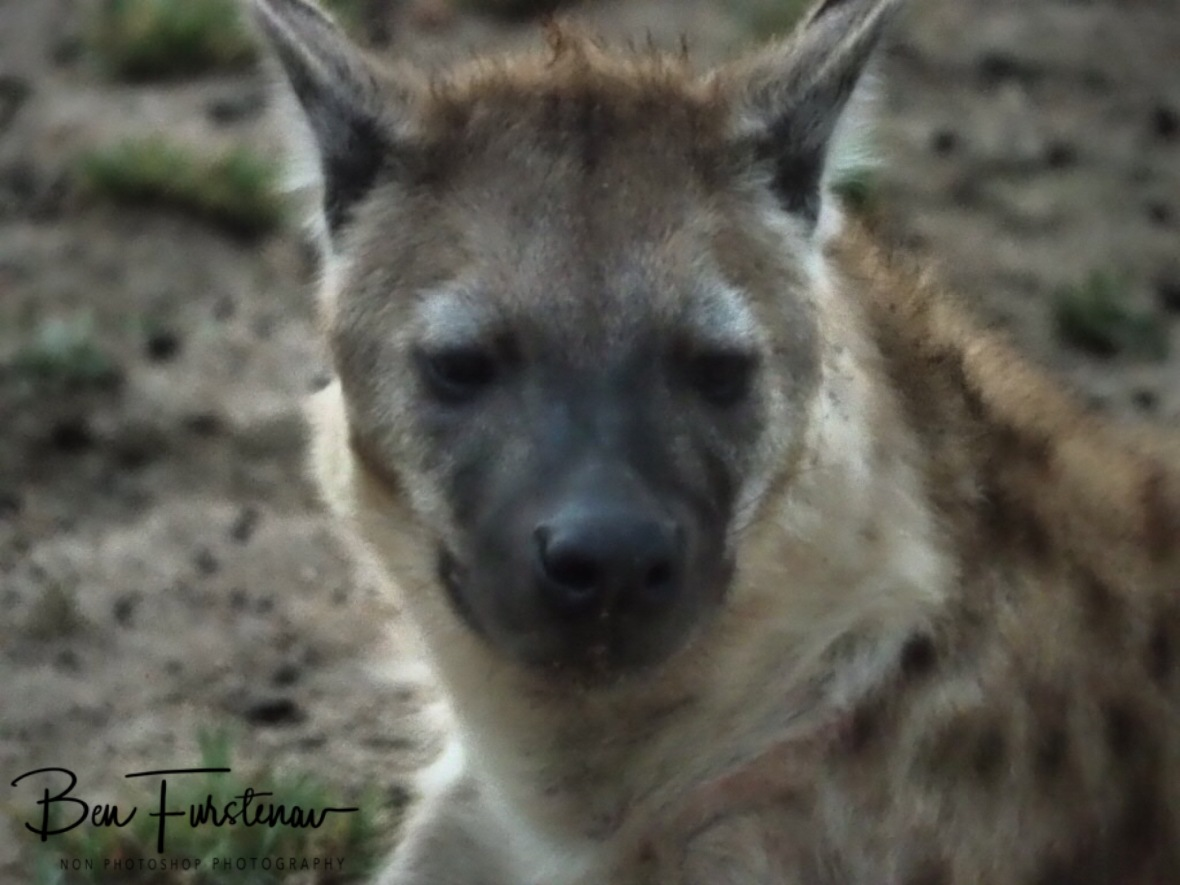 Hyena close up, Kruger National Park