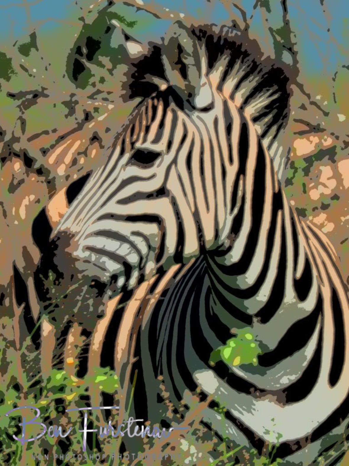 Painted zebra, Kruger National Park
