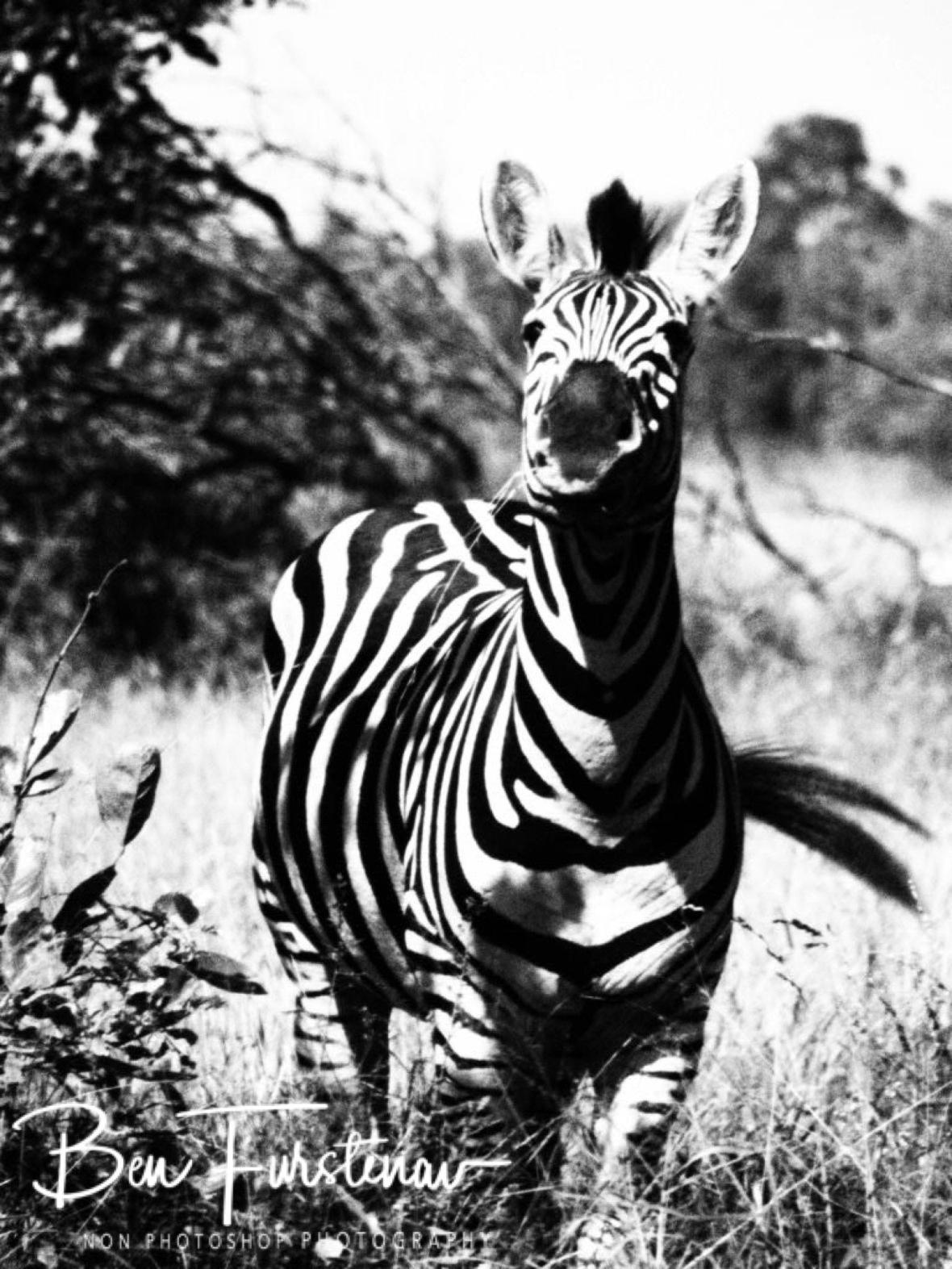 Ha ha, that's not a zebra, Kruger National Park
