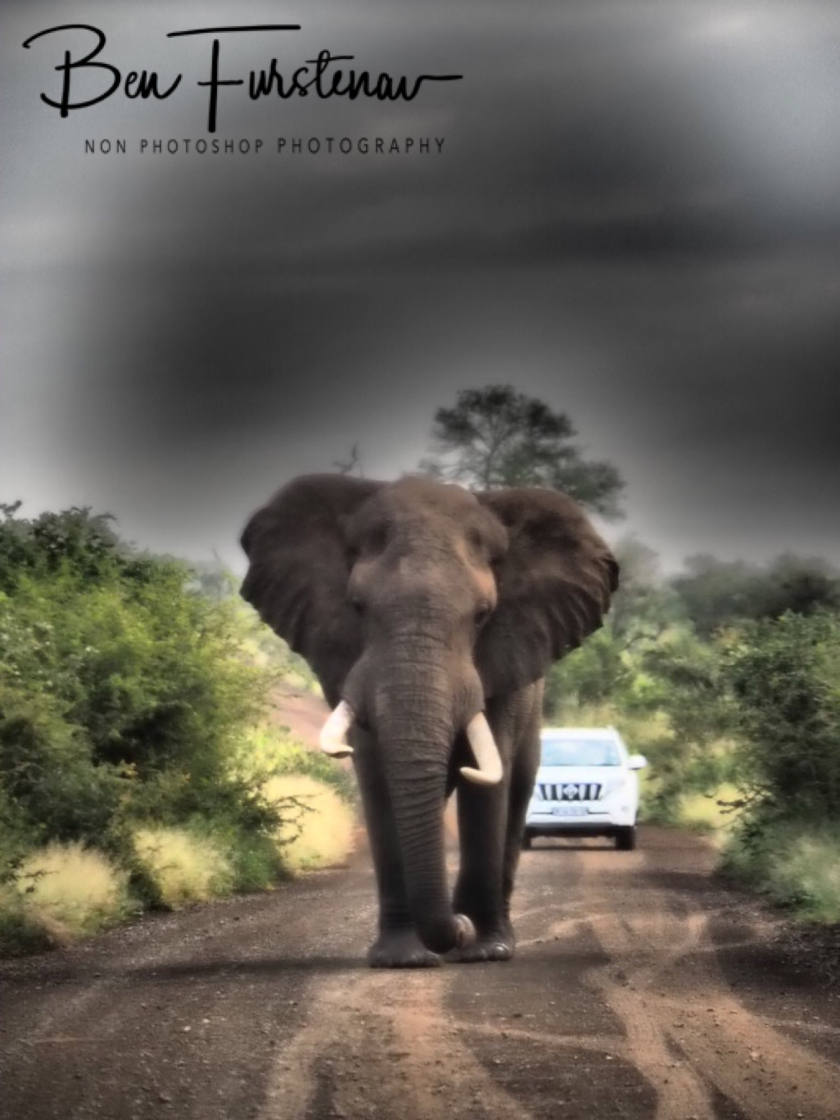 Clearly the king of the road, Kruger National Park