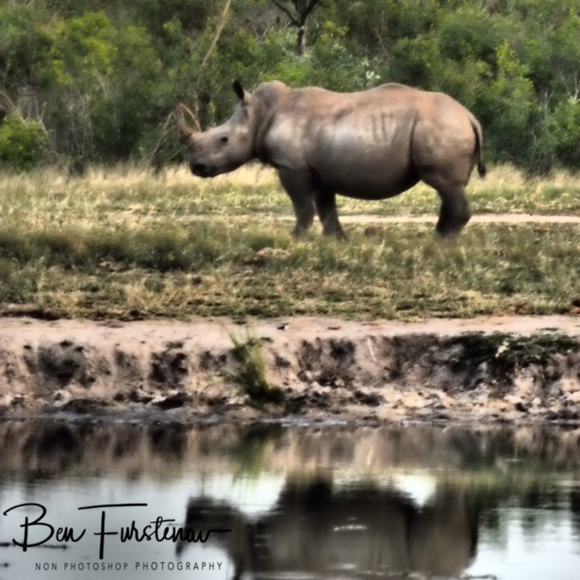 Rhino reflections, Kruger National Park