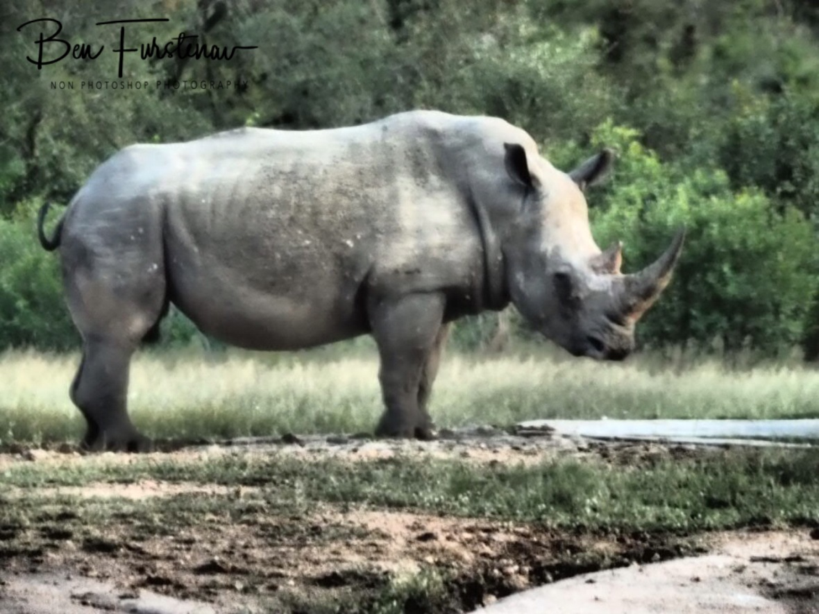 Black rhino, Kruger National Park