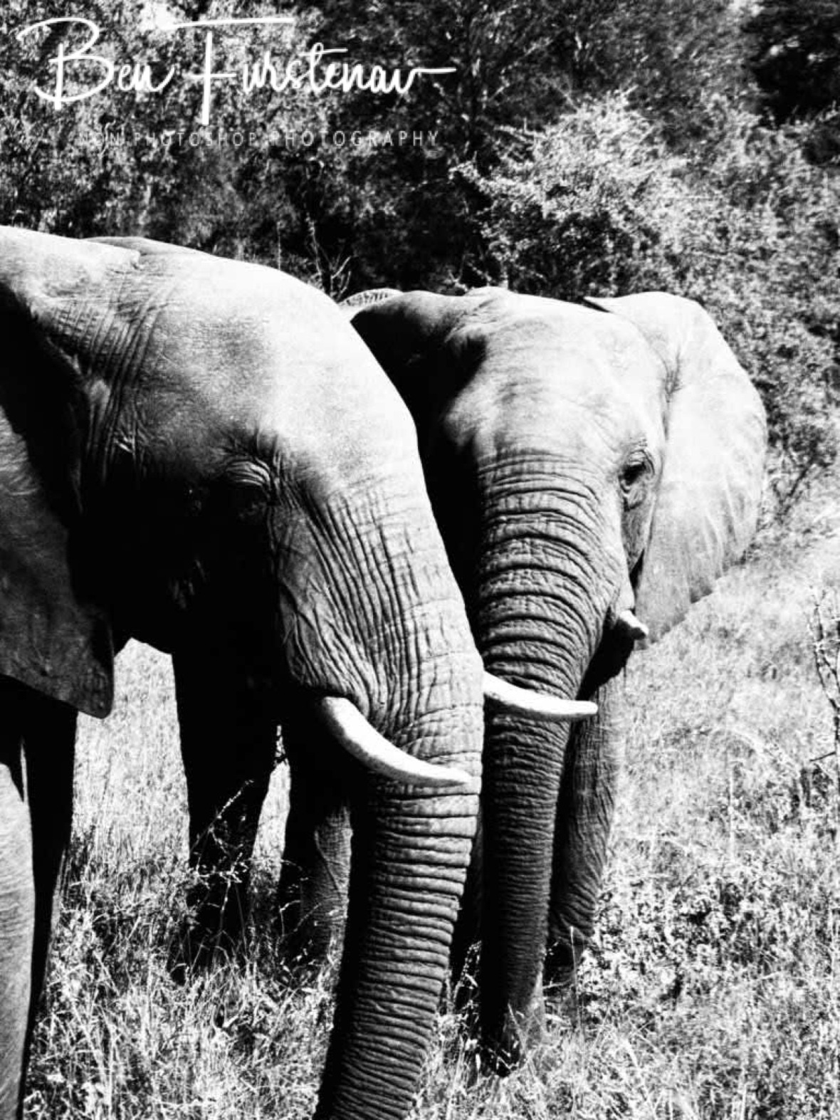 No show without elephants, Kruger National Park