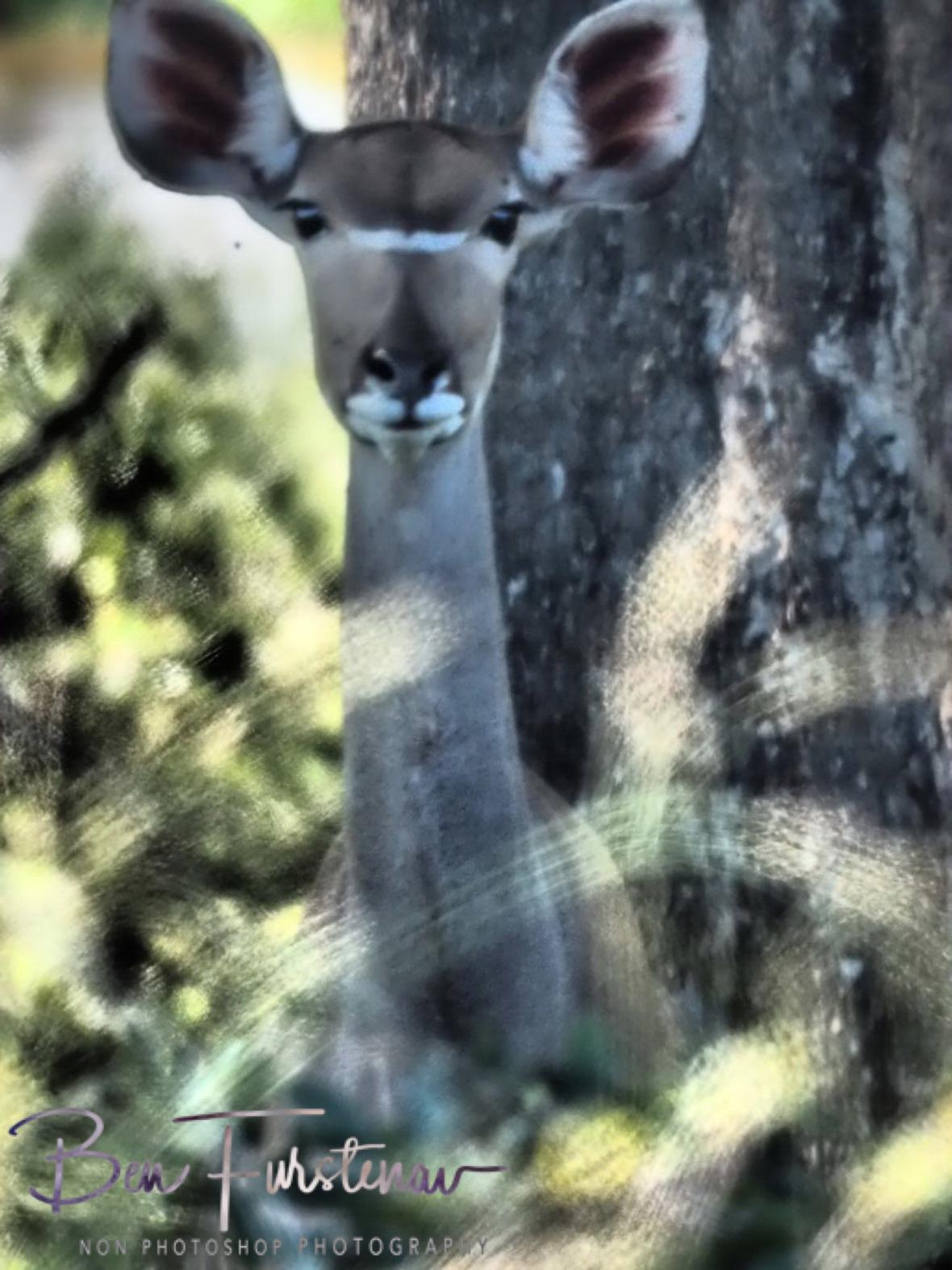 Kudu in disbelief, Kruger National Park
