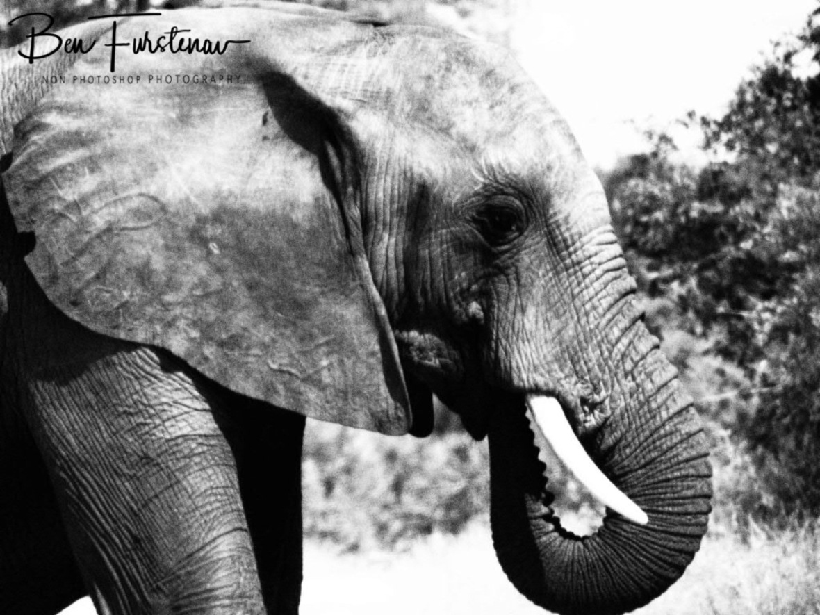 Elephantastic Black and white, Kruger National Park
