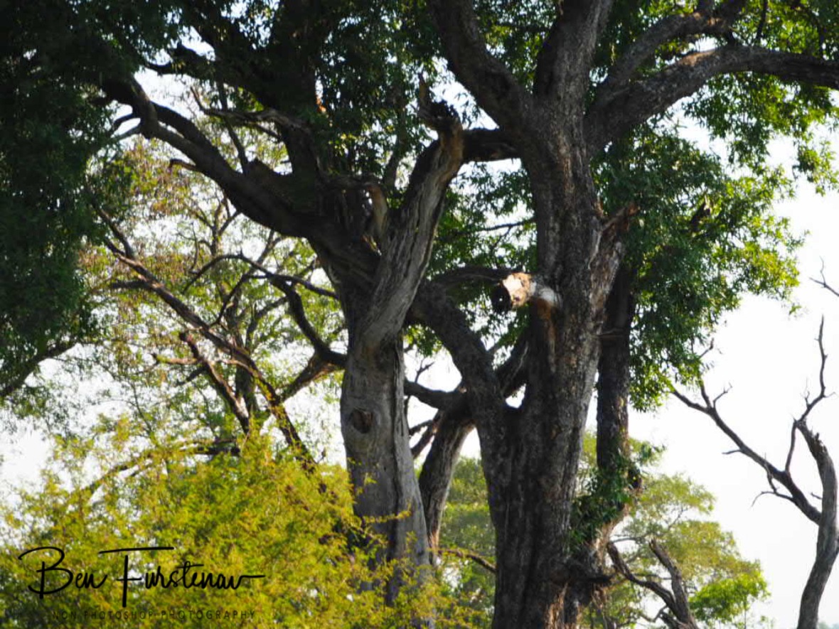 Spot the leopard, Kruger National Park