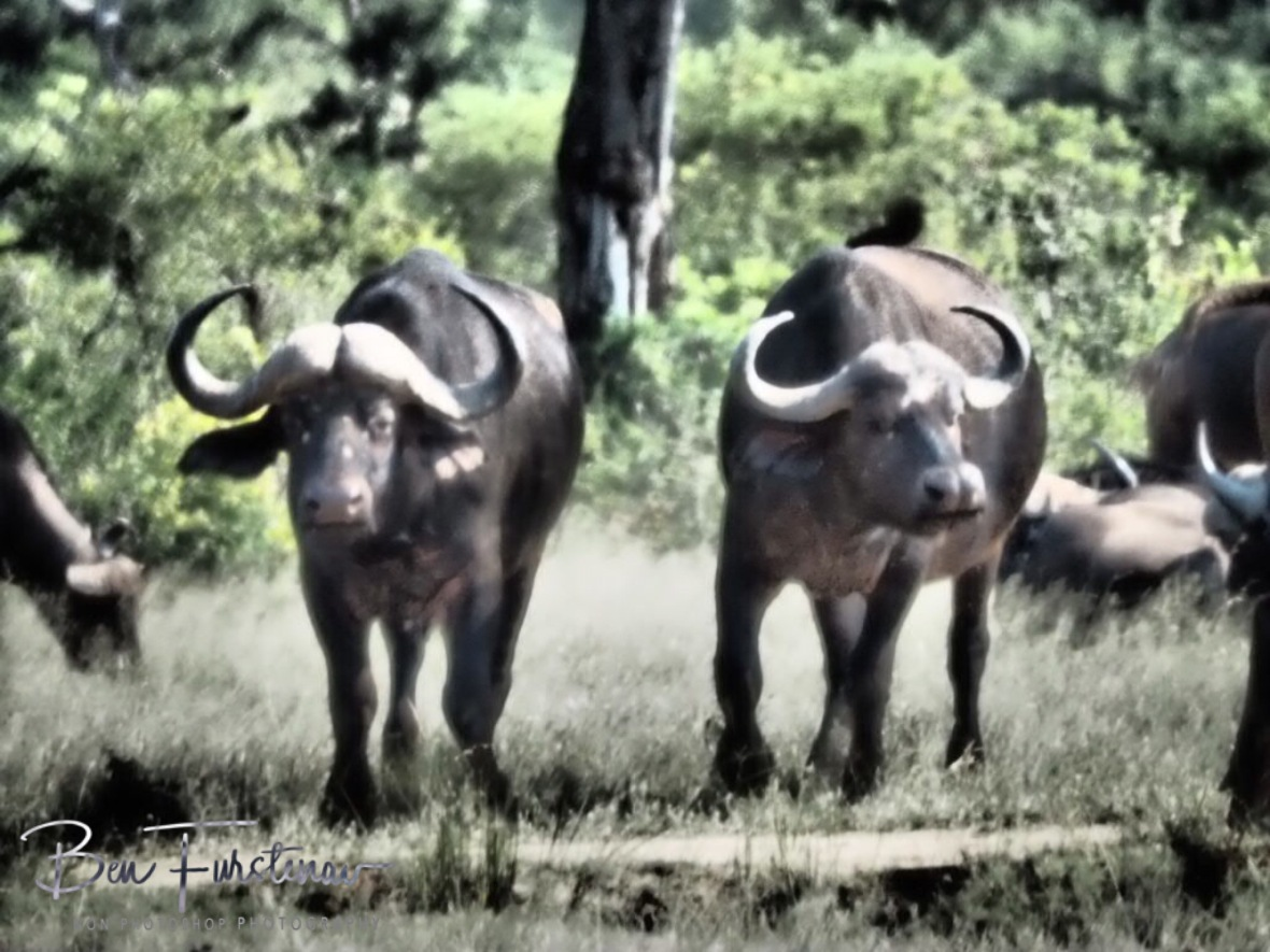 Anxious looks from buffalos, Kruger National Park