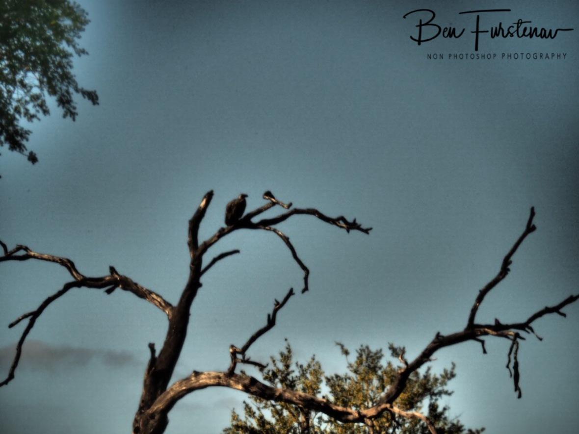 Some vultures waiting for their turn, Kruger National Park