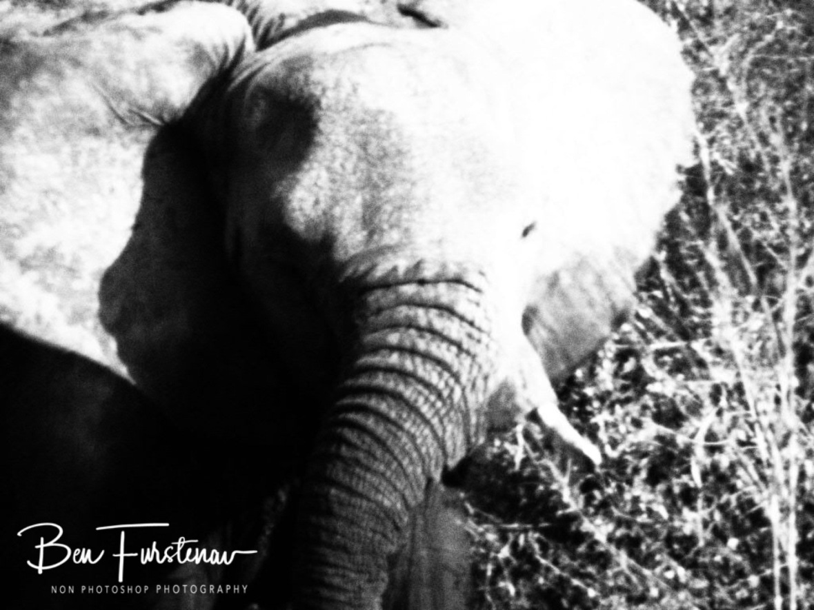 Youngster elephant munching, Kruger National Park